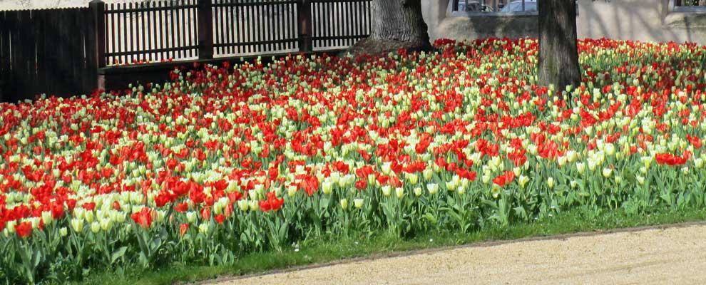 Tulpenpracht im Klostergarten von Seligenstadt